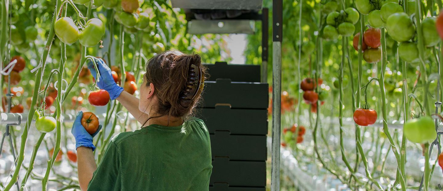 How one of the largest supermarket chains in Croatia grows its own tomatoes in sub-zero conditions