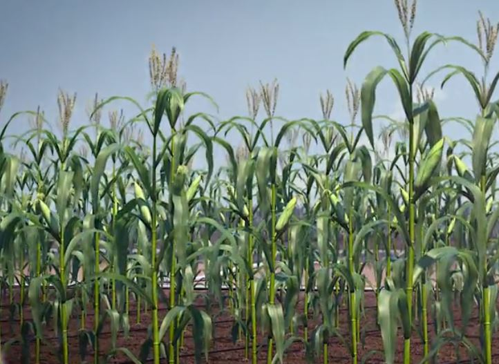 Surface drip irrigation system is the best long-term irrigation solution for corn.