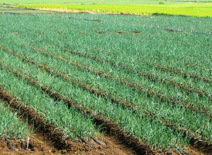Precision irrigation, irrigation solutions, onions